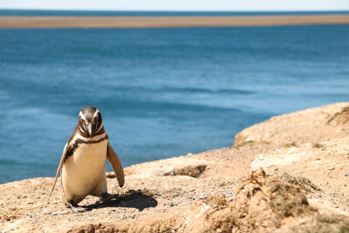 Magellan pinguino